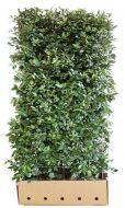 Quick Hedge Elaeagnus Pungus100x180 cm.